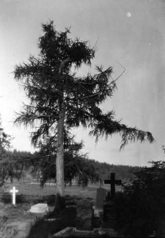 Valokuva hautausmaalta. Kuvassa hautakivien välissä kasvava kuusi.
