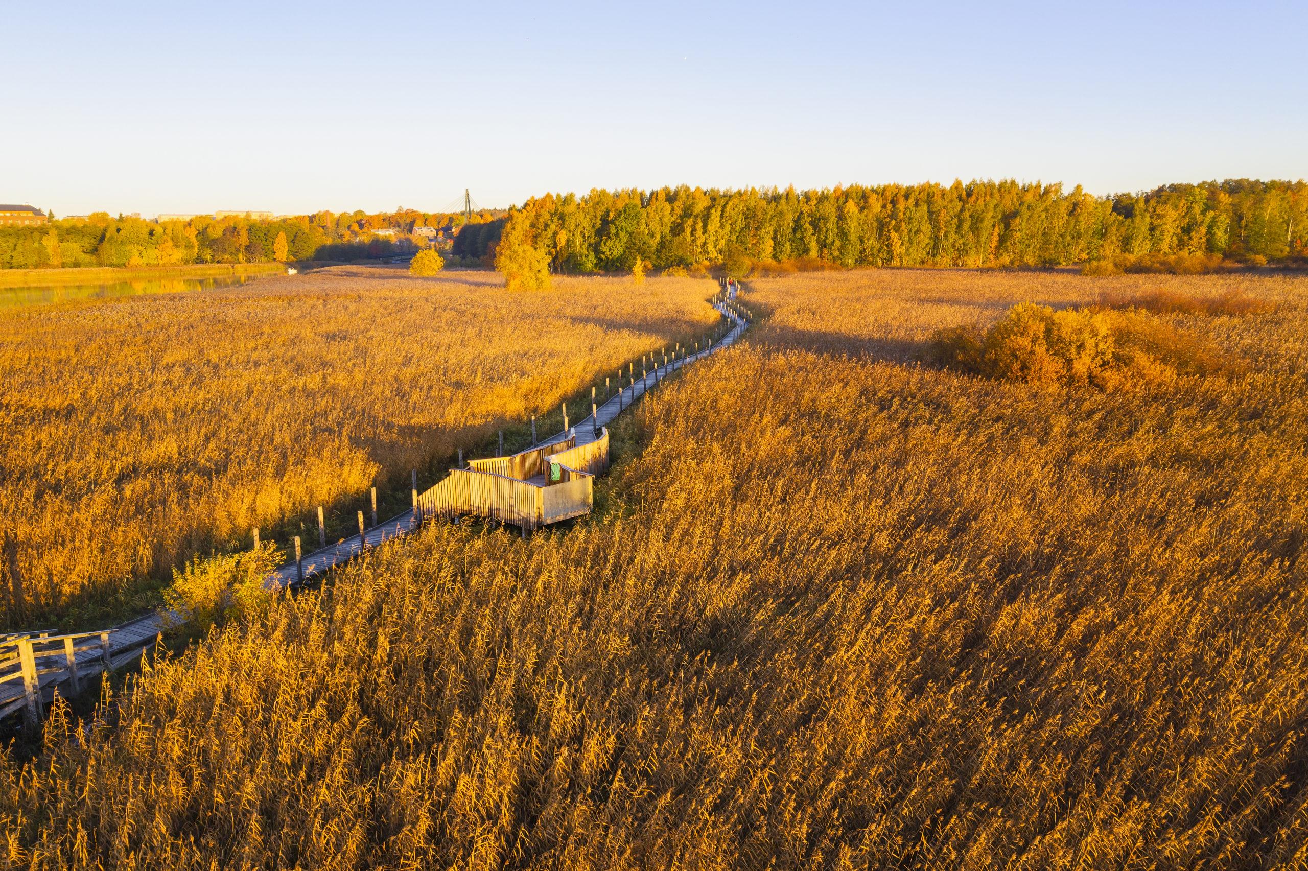 Lammassaaren pitkospuut mutkittelevat keltaisen kaislikon halki