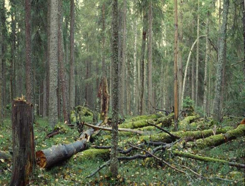 kuva vanhasta suomalaisesta havumetsästä