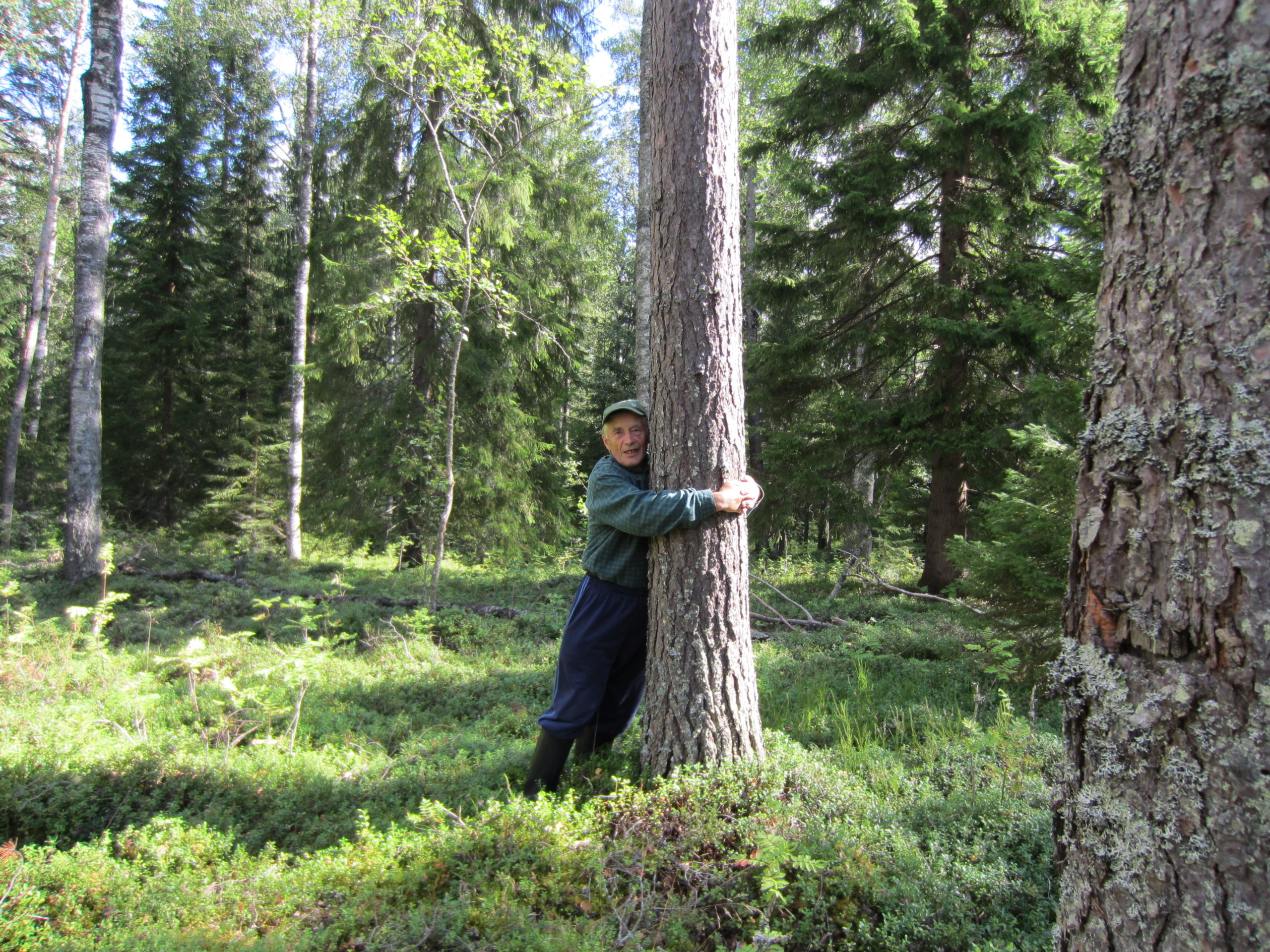 80-vuotias mies halaa mäntyä metsässä